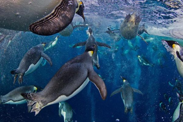世界新闻摄影奖一等奖:Emperor Penguins/帝企鹅